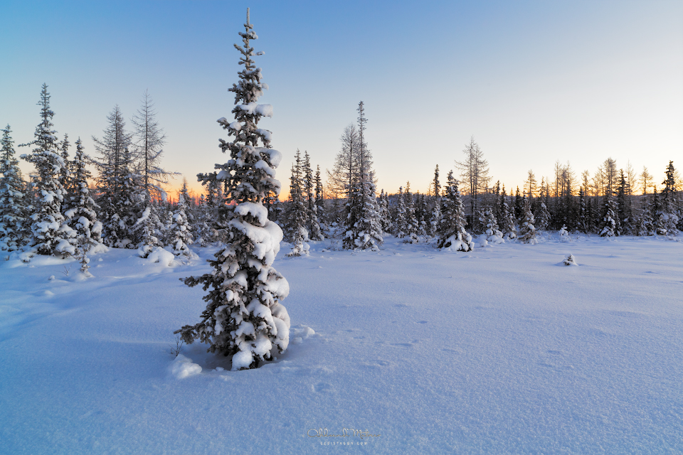 Beautiful winter landscape with fir