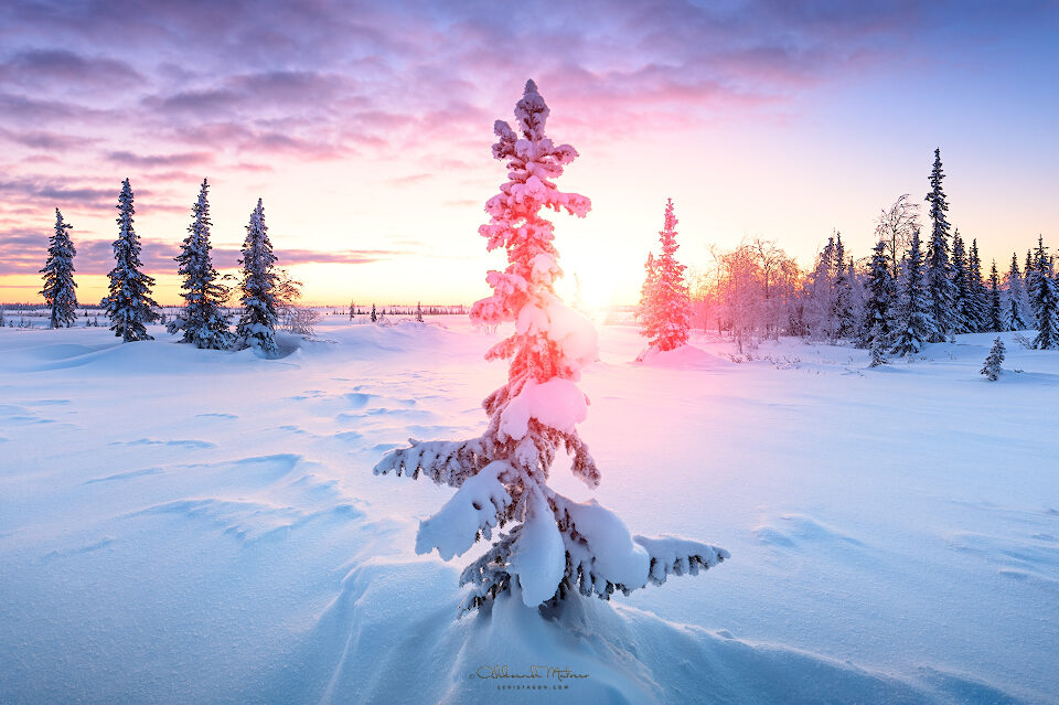 Winter north forest and tundra panorama spruce hoarfrost  blue tone dawn